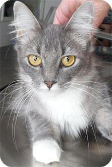 Domestic Mediumhair Cat for adoption in Waupaca, Wisconsin - Bee Bop