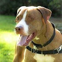 Adopt A Pet :: Bentley - Freeport, NY