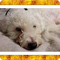 Bichon Frise Dog for adoption in Tulsa, Oklahoma - Adopted!!Sophie - IL