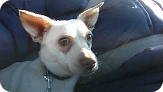 Chihuahua Mix Dog for adoption in Indianapolis, Indiana - Nilly (Vanilla)