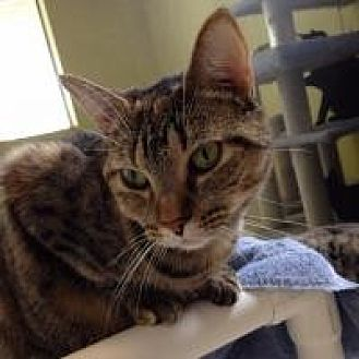 Domestic Mediumhair Cat for adoption in Hudson, Florida - Zebra