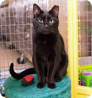 Domestic Shorthair Cat for adoption in Seville, Ohio - Wiggles