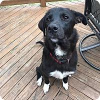Adopt A Pet :: Indi - Florence, KY