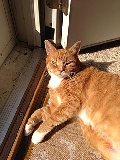 Domestic Shorthair Cat for adoption in Bel Air, Maryland - Punkin