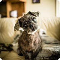 Adopt A Pet :: Yoda - San Antonio, TX