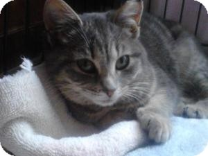 Domestic Shorthair Cat for adoption in Medford, New Jersey - Lacey