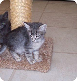 American Shorthair Kitten for adoption in Santa Monica, California - Loki