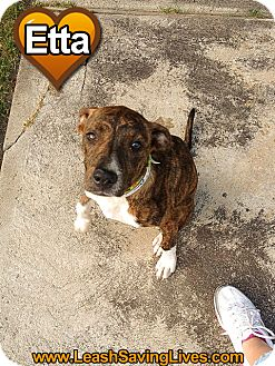 Pit Bull Terrier Mix Puppy for adoption in Pitt Meadows, British Columbia - Etta