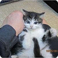 Adopt A Pet :: Presley - Sterling Hgts, MI