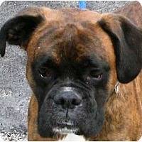 "Adopt A Pet :: Jagermister ""Jag"" - Toronto/Etobicoke/GTA, ON"