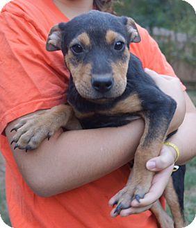 German Shepherd Dog/Terrier (Unknown Type, Medium) Mix Puppy for adoption in Newark, Delaware - Mobely
