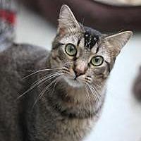 American Shorthair Cat for adoption in Yukon, Oklahoma - Monkey