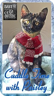 Domestic Shorthair Kitten for adoption in East Brunswick, New Jersey - Paisley
