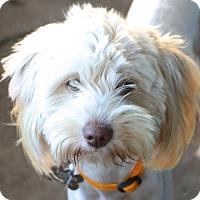 Adopt A Pet :: Allegra - Norwalk, CT