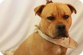 Boxer/American Pit Bull Terrier Mix Dog for adoption in Huachuca City, Arizona - Ray