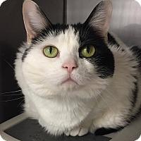 Adopt A Pet :: Sailor - Hendersonville, NC