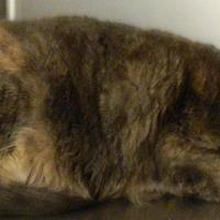 Adopt A Pet :: Dixie - Columbus, NE