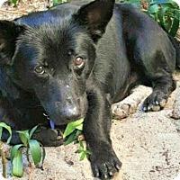 Adopt A Pet :: Mr. Shortie Jaxon - Bradenton, FL