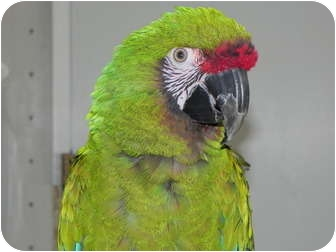 Macaw for adoption in St. Louis, Missouri - Crackers