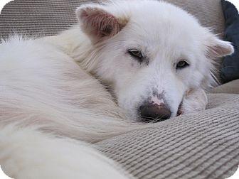 Samoyed/Husky Mix Dog for adoption in Alexandria, Virginia - Lidia