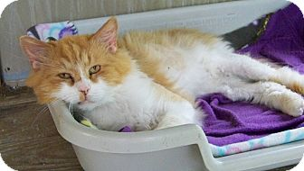 Domestic Longhair Cat for adoption in Dover, Ohio - Cheesy