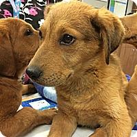 Adopt A Pet :: Fuego - Cumming, GA