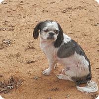 Adopt A Pet :: Calvin - Clarksville, TN