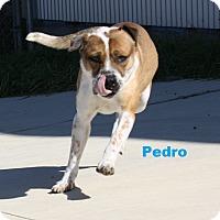 Shepherd (Unknown Type) Mix Dog for adoption in San Antonio, Texas - Pedro