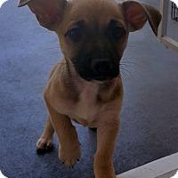 Adopt A Pet :: DOBBY - Winnetka, CA