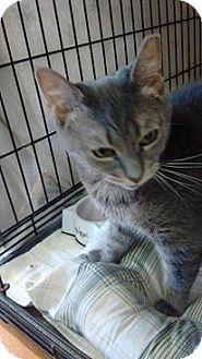 Domestic Shorthair Cat for adoption in Acushnet, Massachusetts - Froda