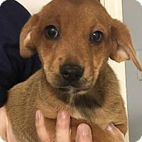 Adopt A Pet :: CRICKET puppy girl - Pompton Lakes, NJ