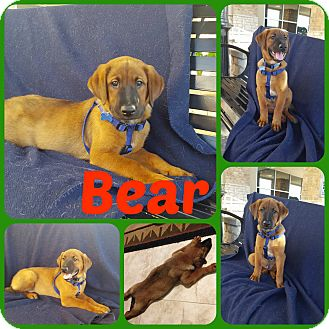 Hound (Unknown Type)/Shepherd (Unknown Type) Mix Puppy for adoption in Ft Worth, Texas - Bear