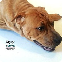 Adopt A Pet :: Gypsy - Belle Chasse, LA