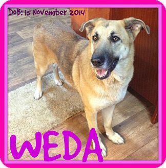 German Shepherd Dog Dog for adoption in Jersey City, New Jersey - WEDA