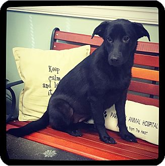 Labrador Retriever Mix Puppy for adoption in Grand Bay, Alabama - Daffodil