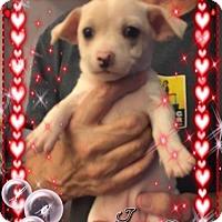 Adopt A Pet :: Belle - Lodi, CA