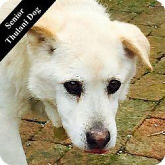 Labrador Retriever/German Shepherd Dog Mix Dog for adoption in Cupertino, California - Scott T.