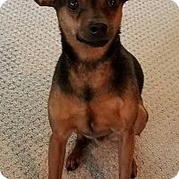 Miniature Pinscher Dog for adoption in Lisbon, Iowa - Caden