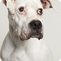 Boxer Mix Dog for adoption in Baton Rouge, Louisiana - Boggs