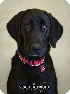 Labrador Retriever Mix Puppy for adoption in Phoenix, Arizona - Grace