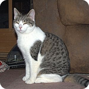 Domestic Shorthair Cat for adoption in Colorado Springs, Colorado - K-Hart10-Queenie