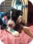 Spaniel (Unknown Type)/Labrador Retriever Mix Puppy for adoption in Manchester, Connecticut - Stash in CT