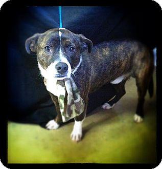 Boston Terrier Mix Dog for adoption in Hazard, Kentucky - Sparky