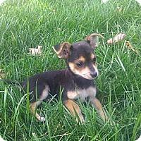 Adopt A Pet :: PEANUT - Inglewood, CA