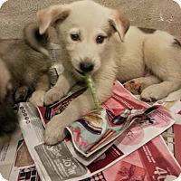 Adopt A Pet :: Peeta*ADOPTED!* - Chicago, IL