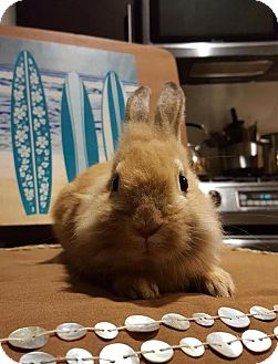 Lionhead Mix for adoption in Los Angeles, California - Willie