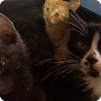 Adopt A Pet :: Kitten litter B - San antonio, TX