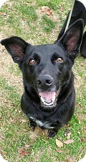 German Shepherd Dog Dog for adoption in Baltimore, Maryland - Diesel