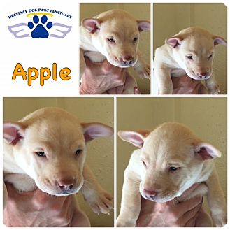 Catahoula Leopard Dog/Labrador Retriever Mix Puppy for adoption in Folsom, Louisiana - Apple