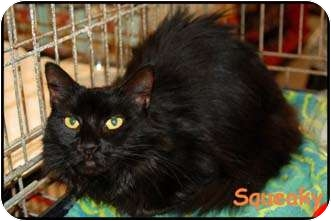 Domestic Mediumhair Cat for adoption in Merrifield, Virginia - Squeaky